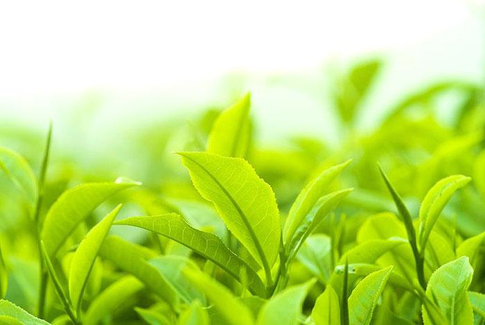 緑茶の効能成分