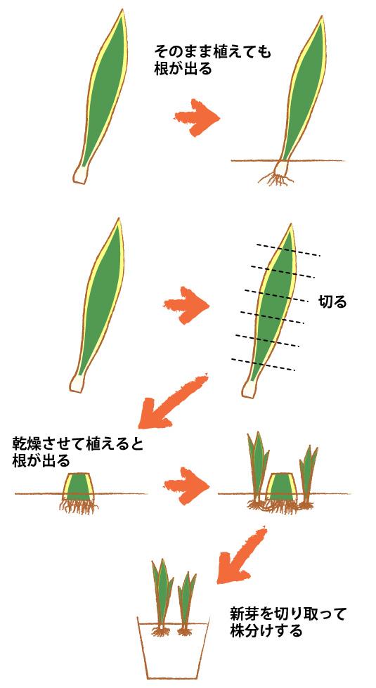 サンスベリアを葉挿し(土挿し、水差し)で増やす