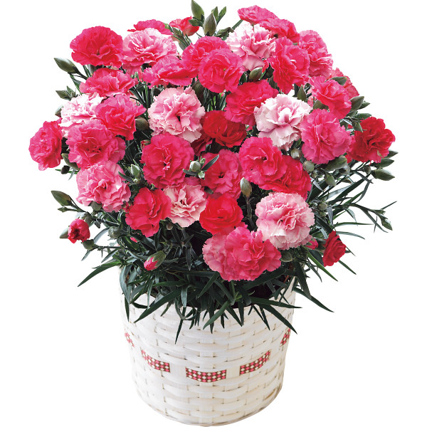 カーネーションの鉢植えも定番プレゼント