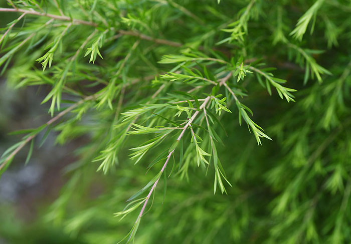 フトモモ科コバノブラシノキ属の常緑植物 ティーツリー